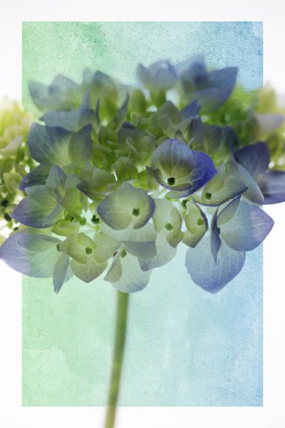 Hydrangea Photograph - Hydrengae 3 by Rebecca Cozart