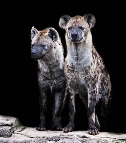 Scavengers Photograph - Hyenas by Martin Newman