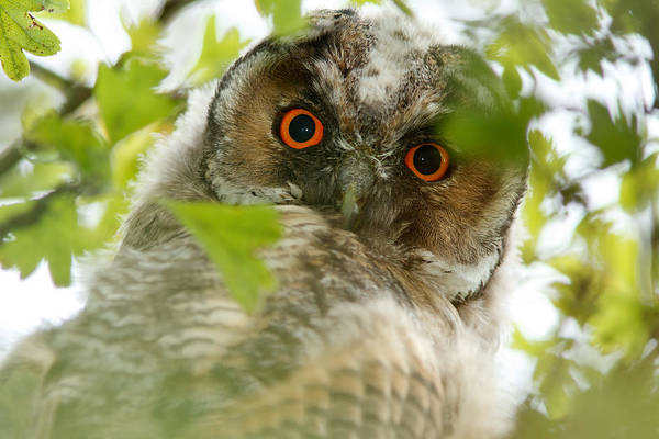 Nestling Photograph - Hypnoteyes - Long-eared Owl by Roeselien Raimond