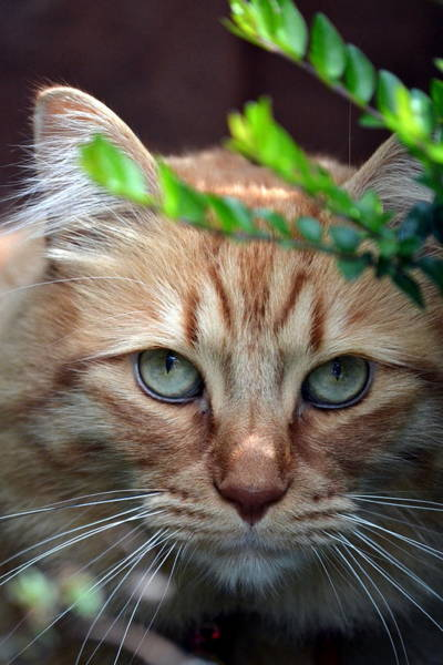 Orange Tabby Photograph - Hypnotic by Fraida Gutovich
