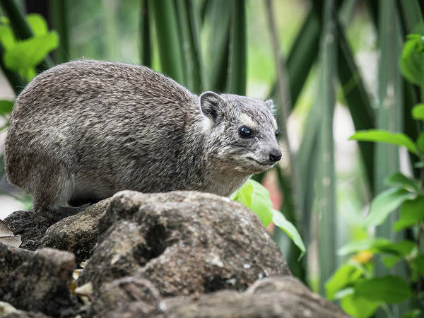 Photograph - Hyrax by Robin Zygelman