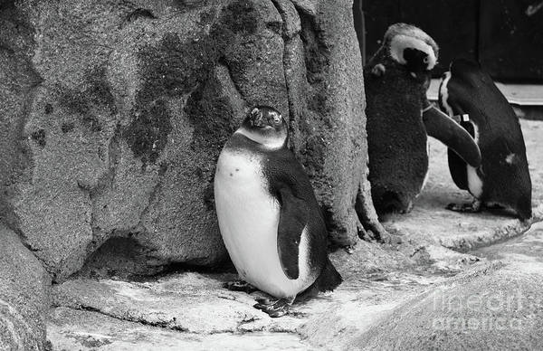 Photograph - Smug Penguin by Patti Whitten
