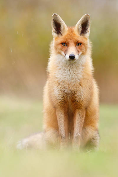 Vulpes Vulpes Photograph - I Can't Stand The Rain by Roeselien Raimond