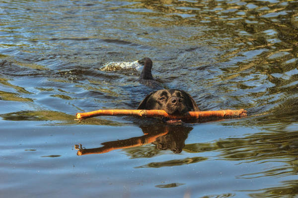 Black Lab Photograph - I Got This by Susan Capuano