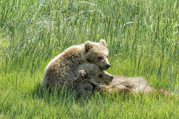 Photograph - I Got Your Back - Bear Cubs, No. 4 by Belinda Greb
