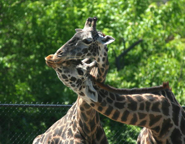 Photograph - I Just Love Tall Spotted And Handsome by David Dunham