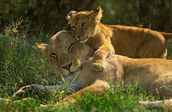 Lion Cubs Photograph - I Love My Mother by Johan Elzenga