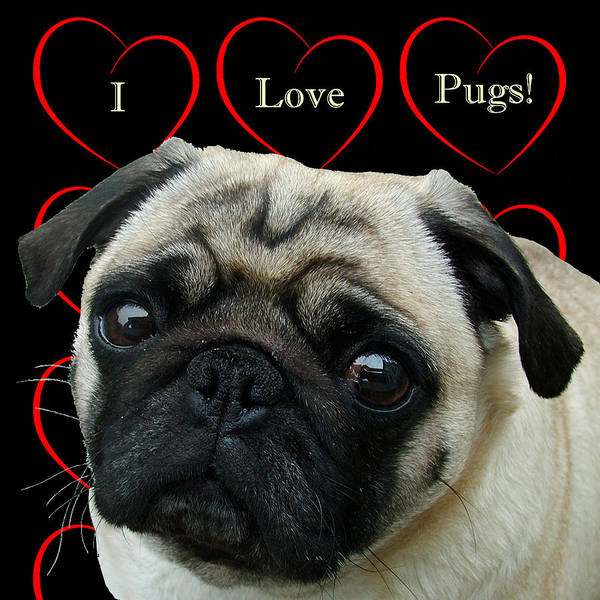Mixed Media - I Love Pugs With Hearts by Patricia Barmatz