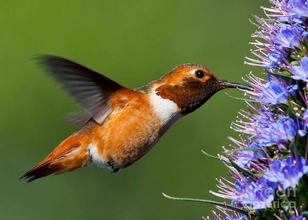 Selasphorus Photograph - I Love Purple Nectar..... by Carl Jackson