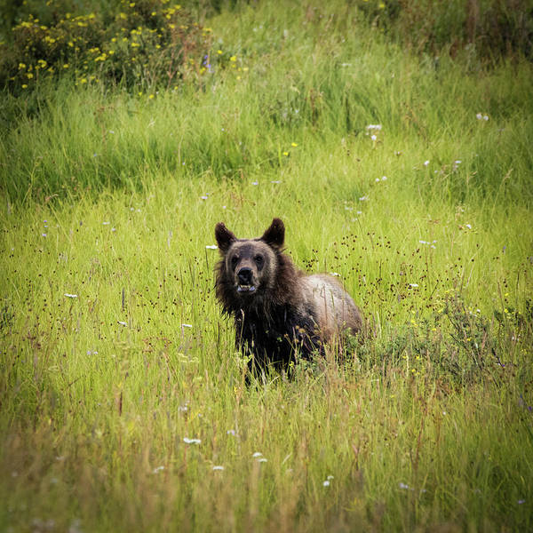 Photograph - I See You, Grizzly Bear Cub by TL Mair