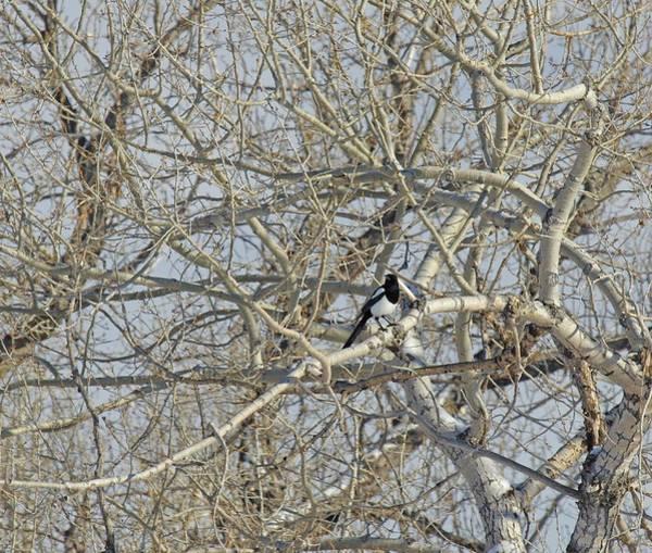 Photograph - I Spy A Magpie by Amanda Smith