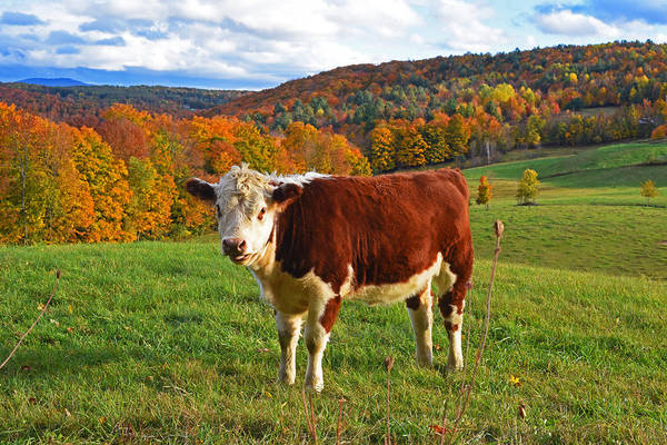 Photograph - I Stick My Tongue Out At You. Jenne Farm Cow Reading Vermont by Toby McGuire