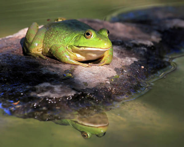 Bullfrog Photograph - I Toad You So by Donna Kennedy