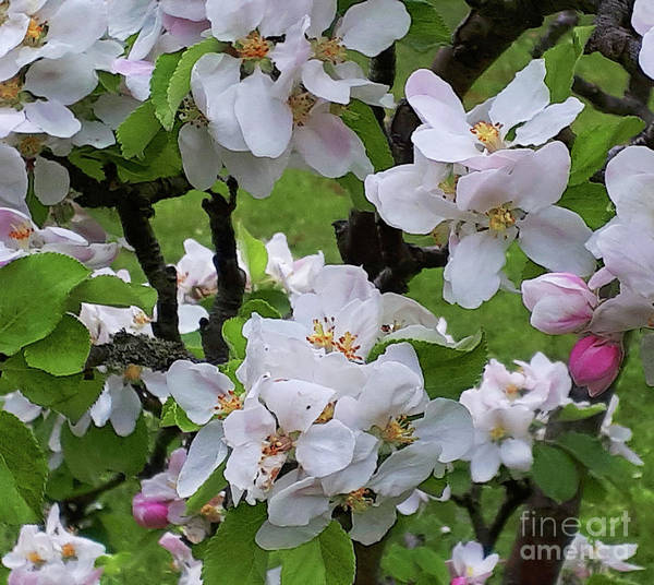 Photograph - I Will Be With You In Apple Blossom Time by Brenda Kean