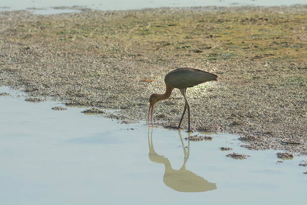 Photograph - Ibis 4727-091017 by Tam Ryan