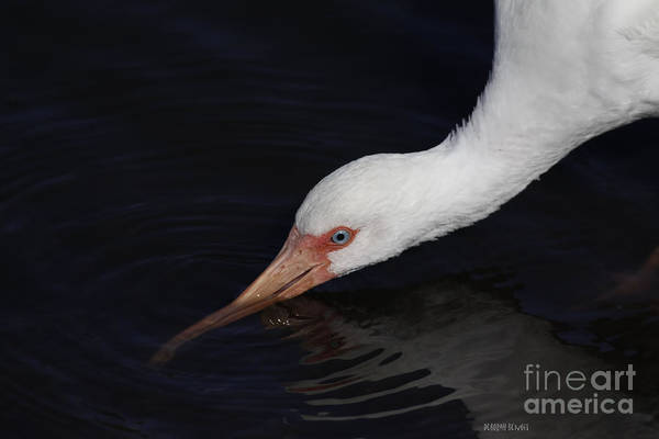 Photograph - Ibis Drinking by Deborah Benoit