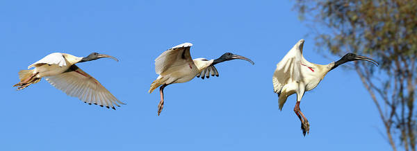 Photograph - Ibis Flight by Nicholas Blackwell