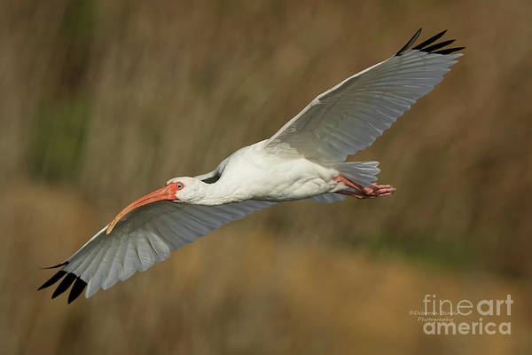 Wall Art - Photograph - Ibis Glide by Deborah Benoit