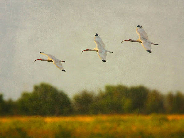 Photograph - Ibis In Flight by Charles McKelroy