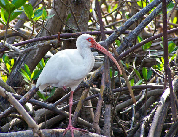 Photograph - Ibis In Mangroves by Ginger Wakem