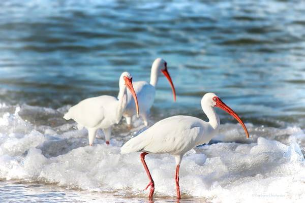 Wall Art - Photograph - Ibis In Ocean Surf by Barbara Chichester