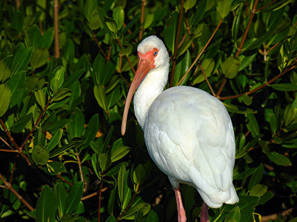 Photograph - Ibis by Juergen Roth