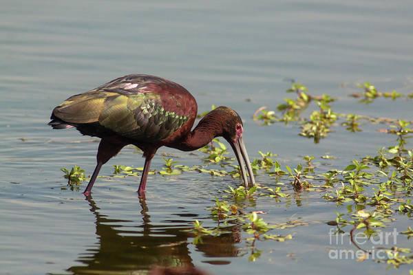 Bird Watcher Photograph - Ibis Lit Up - Morning by Robert Frederick