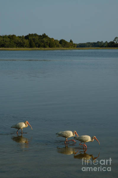 Photograph - Ibis Morning by Kathi Shotwell