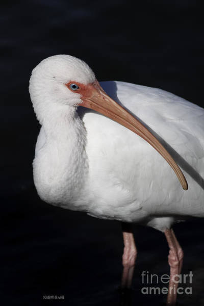 Photograph - Ibis Pose by Deborah Benoit