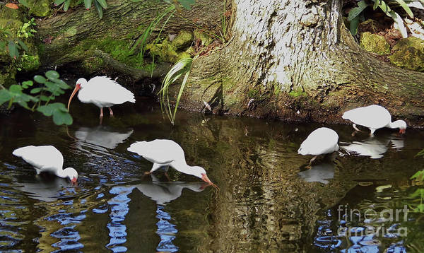 Photograph - Ibis Reflections by D Hackett