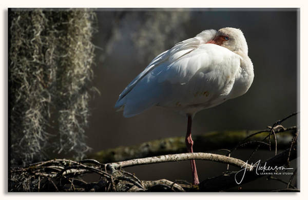 Photograph - Ibis Study II by John Nickerson