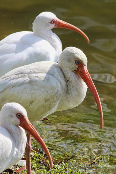 Photograph - Ibis Three by Deborah Benoit