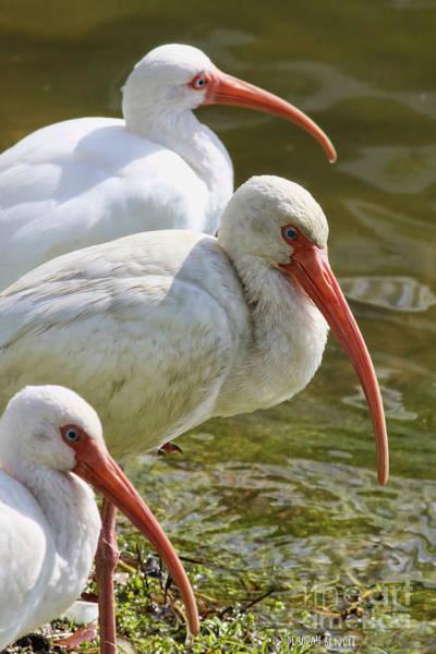 Photograph - Ibis Three by Deborah Benoit