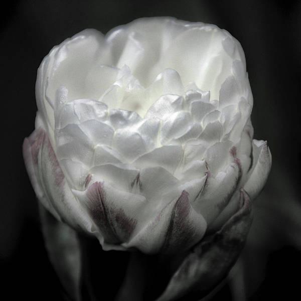 Wall Art - Photograph - Ice Cream Tulip by Winnie Chrzanowski