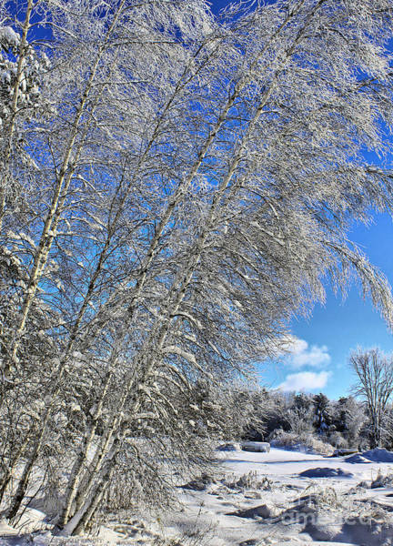Photograph - Ice Laden Birches by Deborah Benoit