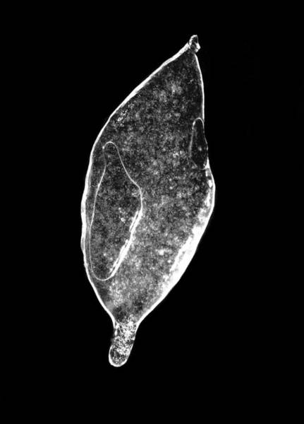 Photograph - Ice Storm Leaf by Ben Shields
