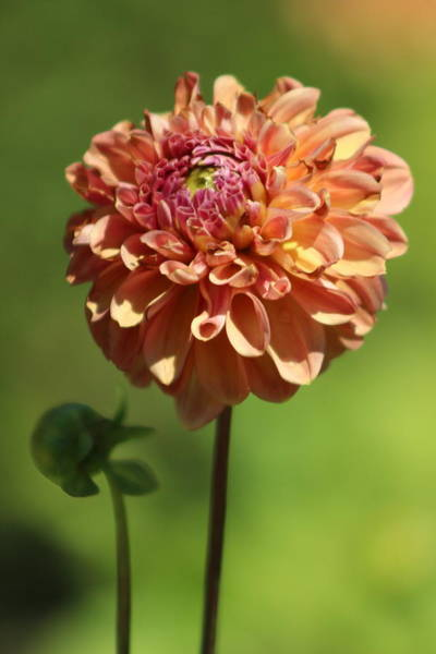 Photograph - Iced Tea Dahlia In Marzipan And Milano Tones by Colleen Cornelius