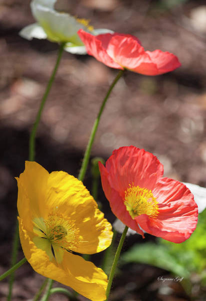 Wall Art - Photograph - Iceland Poppy Series I by Suzanne Gaff