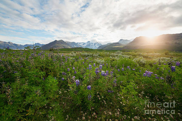 Field Trip Photograph - Iceland Wildflowers  by Michael Ver Sprill