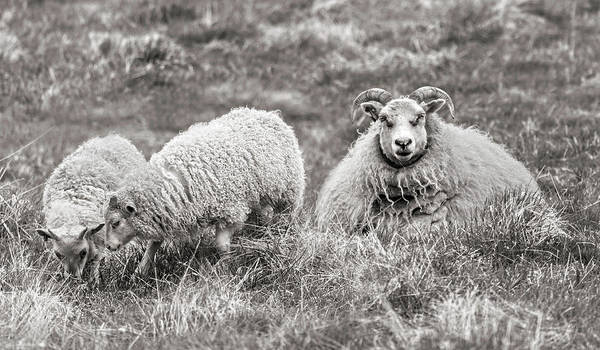 Different Animals Photograph - Iceland Woolly Bear Sheep by Betsy Knapp