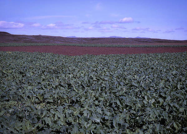 Photograph - Icelandic Field Of Rutabaga by Richard Goldman