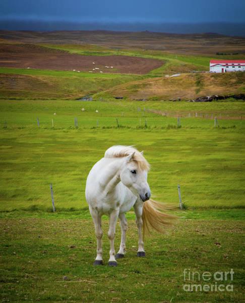 Photograph - Icelandic Horse by Inge Johnsson