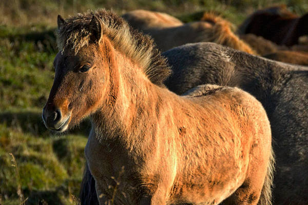 Photograph - Icelandic Horse by Stuart Litoff