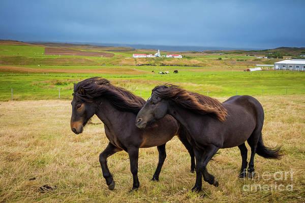 Photograph - Icelandic Horses by Inge Johnsson