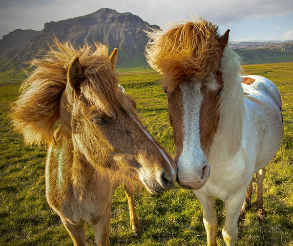 Photograph - Icelandic Horses by Peter OReilly