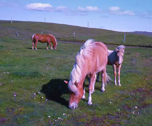 Photograph - Icelandic Horses by Richard Goldman