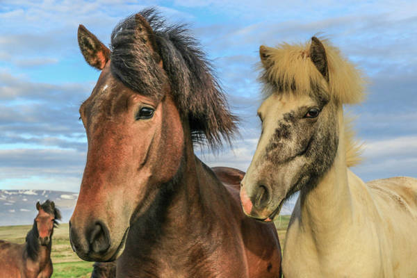 Photograph - Icelandic Horses by Tom and Pat Cory