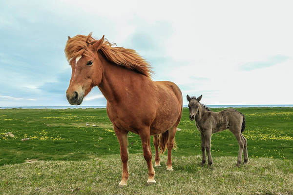 Photograph - Icelandic Mare And Foal by Tom and Pat Cory