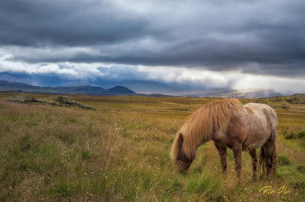 Photograph - Icelandic Pastoral With Iconic Horse by Rikk Flohr