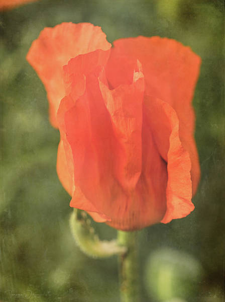 Photograph - Icelandic Poppy 1124 by Teresa Wilson